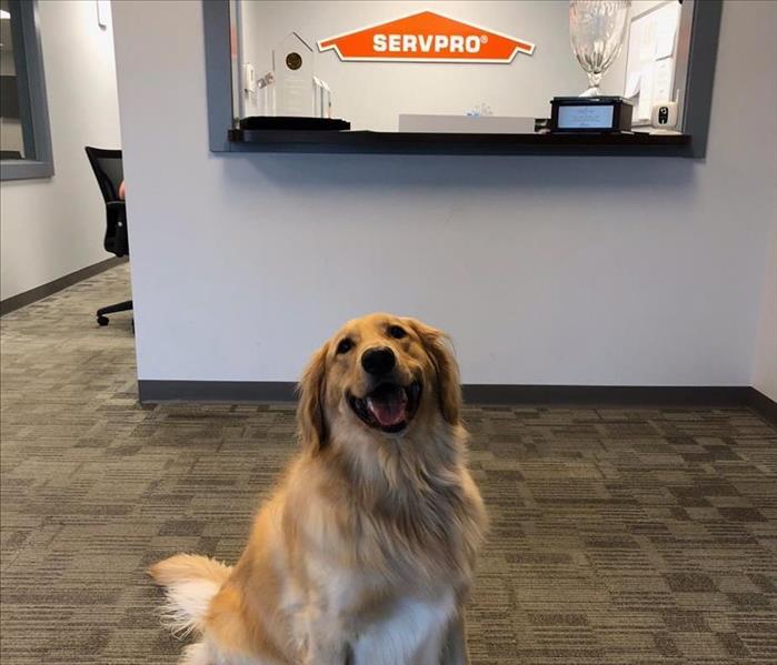 Golden retriever sitting in front of a SERVPRO sign.